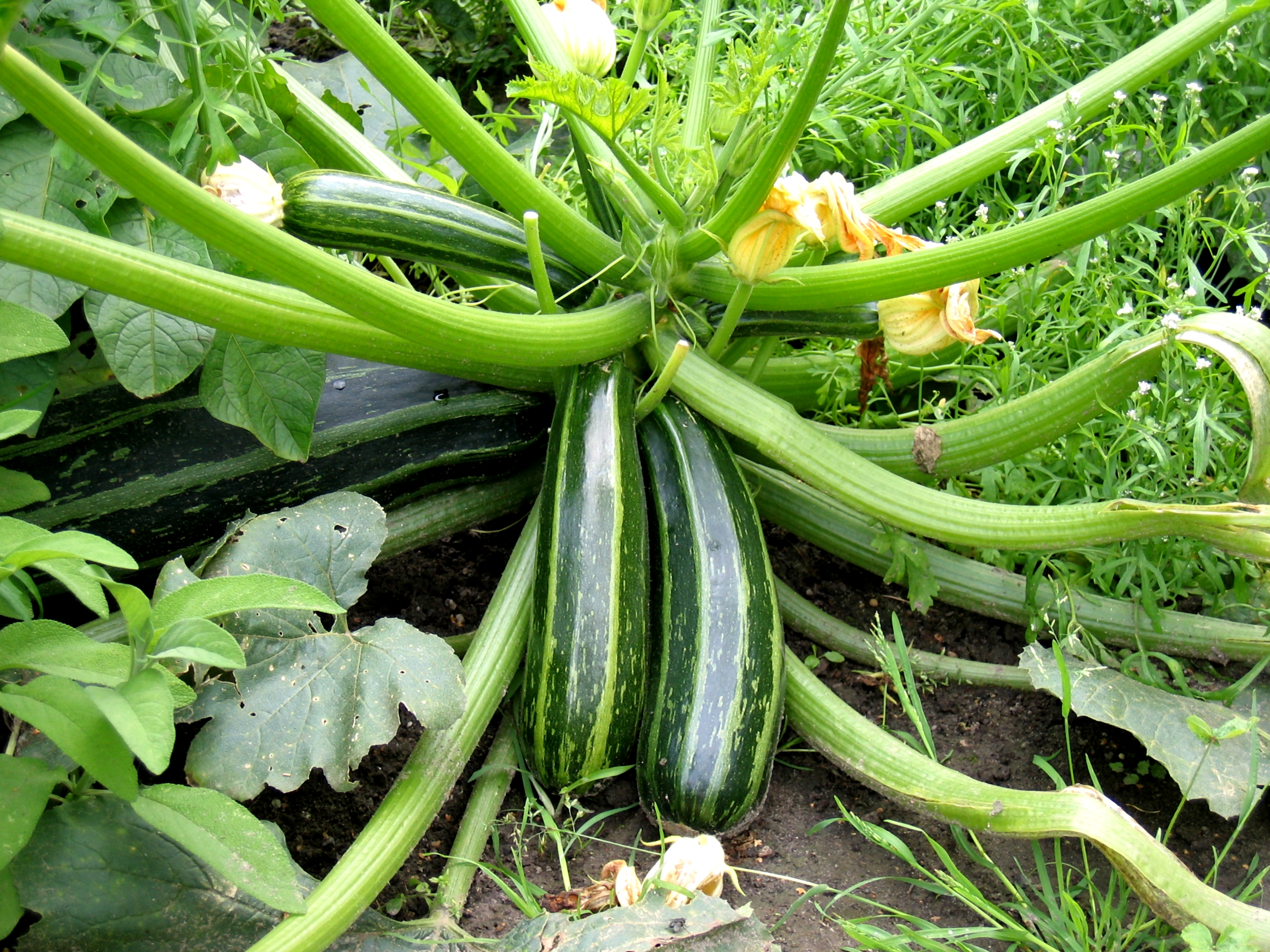 "Picture of Live Squash Zucchini JB Vegetables Plant Fit 4"" Pot"