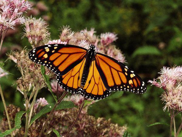 monarch-butterfly_630_600x450